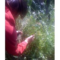 picking wild asparagus
