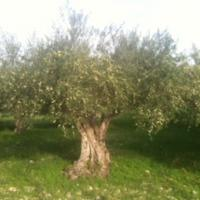 olive tree ready for harvest